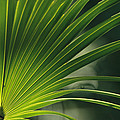 A Close View Of A Palm Frond by Klaus Nigge