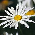 A Close View Of A Wild Daisy by Raymond Gehman