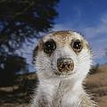 A Close View Of An Adult Meerkat by Mattias Klum