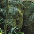 A Close View Of An Asian Elephant by Tim Laman