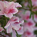 A Close View Of Pink Azalea Blossoms by Raymond Gehman