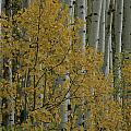 A Close View Of Quaking Aspen Trees by Marc Moritsch