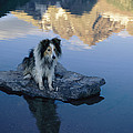 A Collie Perches Itself On A Rock by Joel Sartore