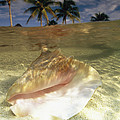 A Conch Shell Rests Beneath The Clear by Michael Melford