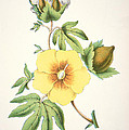A Cotton Plant by American School