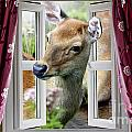 A Deer Enters The House Window. by Simon Bratt Photography LRPS