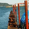 A Dock Of Sea Lions by Jeff Swan