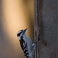 A Downy Woodpecker, Picoides Pubescens by Joel Sartore