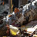 A Fallen Birch Still Claims Its Beauty by Janice Adomeit