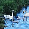 A Family Of Trumpeter Swans Swims by Melissa Farlow