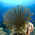 A Feather Star With Arms Extended by Steve Jones