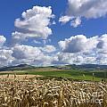A Field Of Barley . Auvergne. France by Bernard Jaubert