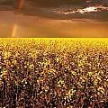 A Field Of Canola With A Rainbow by Don Hammond