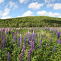 A Field Of Lupines by Ted Kinsman