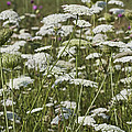 A Field Of Queen Annes Lace by Kathy Clark