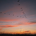 A Flock Of Common Cranes Flying by Klaus Nigge