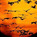 A Flock Of Geese Is Silhouetted by Joel Sartore