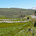 A Flock Of Sheep 2 by Philip Tolok