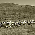 A Flock Of Sheep 4 by Philip Tolok