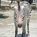 A Focused Zebra by Stacey Callaway