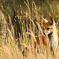 A Fox In A Field by Amy Gerber