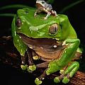 A Frog Phylomedusa Bicolor Perched by George Grall