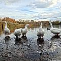 A Gaggle Of Geese 1 by Bruce Ritchie