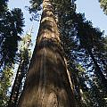 A Giant Redwood In The Mariposa Grove by Bill Hatcher
