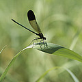 A Graceful Dragonfly Sitting On A Blade by Heather Perry
