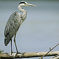 A Graceful Gray Heron Standing On A Log by Klaus Nigge