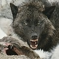 A Gray Wolf, Canis Lupus, Growls by Jim And Jamie Dutcher