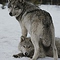 A Gray Wolf, Canis Lupus, Stands by Jim And Jamie Dutcher