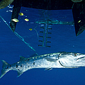A Great Barracuda Beneath A Boat, Kimbe by Steve Jones