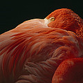A Greater Flamingo With Its Head by Tim Laman