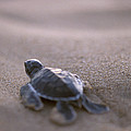 A Green Sea Turtle Hatchling Races by Jason Edwards