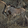 A Grevys Zebra With Young In Samburu by Marc Moritsch