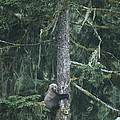 A Grizzly Bear Clings To A Fir Tree by Tom Murphy