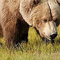 A Grizzly Bear Ursus Arctos Horribilis by Deb Garside