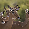 A Group Of Alert Impalas In Samburu by Michael Nichols
