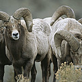 A Group Of Bighorn Sheep Rams by Tom Murphy