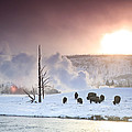A Group Of Bison Feeding In The Snow by Drew Rush