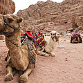 A Group Of Camels Sit Patiently by Taylor S. Kennedy