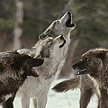 A Group Of Gray Wolves, Canis Lupus by Jim And Jamie Dutcher