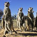 A Group Of Meerkats Standing Guard by Mattias Klum