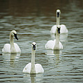 A Group Of Swans Swimming On A County by Joel Sartore