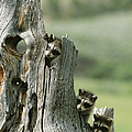 A Group Of Young Racoons Peer by Norbert Rosing