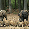 A Group Of Young Wild Boars Nose by Norbert Rosing