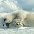 A Harp Seal Pup Lies On Its Side by Norbert Rosing