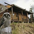 A Hawk Owl Sits On A Stump Near A Log by Michael S. Quinton