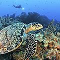 A Hawksbill Turtle Swims by Karen Doody